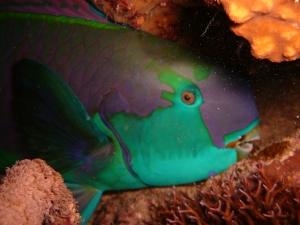 Ő a papagájhal